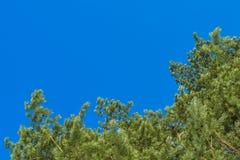 Pijnboomtakken op blauwe hemelachtergrond Stock Afbeeldingen