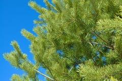 Pijnboomtakken op een achtergrond van blauwe hemel Stock Afbeelding