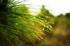 Pijnboomtakken in regenwoud bij het Nationale Park van Phu Kradueng Royalty-vrije Stock Afbeeldingen
