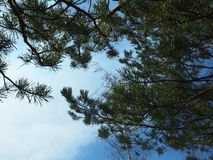 Pijnboomtakken tegen de hemel royalty-vrije stock afbeeldingen