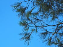 Pijnboomtakken tegen de hemel stock foto's