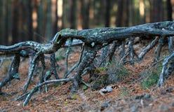 Pijnboomwortels in de herfst bos dichte omhooggaand Stock Afbeelding
