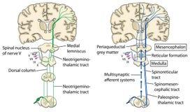 Pijnwegen aan de hersenen Stock Afbeelding