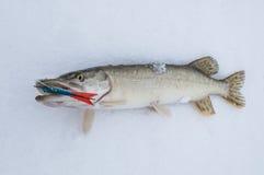 Pik på snö lies russia transbaikalia för fiskfiskeis bara blockerade vinter royaltyfri foto