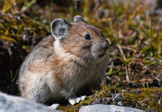 Pika Royalty Free Stock Photos