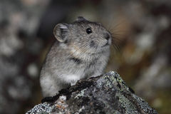Pika Royalty Free Stock Images