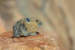 Pika Royalty Free Stock Photography