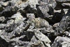 Pika adulto (Ochotona princeps) che mangia una lama di erba Immagine Stock Libera da Diritti