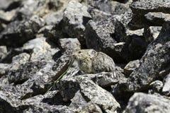 Pika adulto (Ochotona princeps) che mangia una lama di erba Fotografia Stock