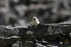 Pika americano adulto (Ochotona princeps) che esamina il suo dominio Fotografia Stock