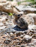 Pika animal in Colorado. A tiny animal called a Pika, lives at high altitudes in the Colorado Rockies Stock Image