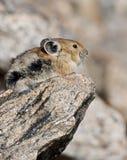 Pika auf einem Felsen im felsiger Gebirgsnationalpark Lizenzfreie Stockfotografie