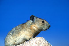 Pika with Blue Sky. A pika sits on a high country rock with blue sky background Stock Photos