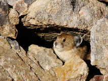 Pika in Burrow Stock Photos