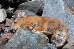 Pika che riposa nelle rocce Fotografie Stock Libere da Diritti