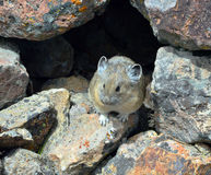 Pika in a den. A pika sits at the opening of it's rocky den Stock Photos