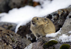 Pika du Kamtchatka. Images stock