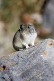 Pika en roca Fotos de archivo libres de regalías