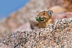 Pika foraging for food Royalty Free Stock Images