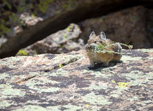 Pika. A pika gathers food on a Wyoming boulder field Royalty Free Stock Image