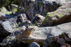Pika. A pika gathers food on a Wyoming boulder field Stock Photos