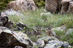 Pika. A pika gathers grass on a Wyoming boulder field Royalty Free Stock Photography