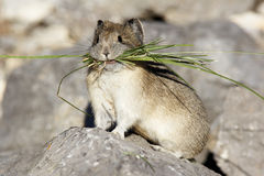 Pika with Grass stock photography