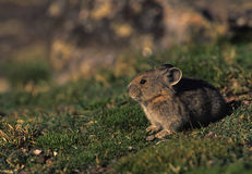 Pika in Grass Royalty Free Stock Images
