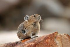 Pika - het Nationale Park van de Jaspis, Alberta Stock Afbeeldingen