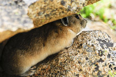 Pika Hiding. A pika hiding between two big rocks Royalty Free Stock Images
