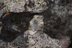 Pika at his den Stock Photos