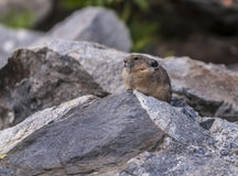Pika. Little Pika - Ochotona princeps sitting on the boulder in the Grant Tetons Stock Image