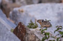 Pika. Little Pika - Ochotona princeps sitting on the boulder in the Grant Tetons Royalty Free Stock Photos