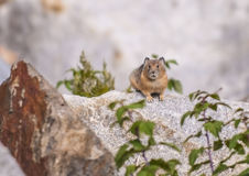 Pika. Little Pika - Ochotona princeps sitting on the boulder in the Grant Tetons Stock Photography