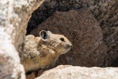 Pika mignon dans les roches Photos stock