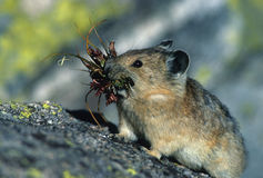 Pika with Mouthful. A pika standing with a mouth full of grass Royalty Free Stock Image