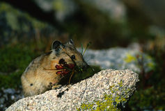 Pika with Mouthful of Grass. A pika stocking up for winter with a mouth full of grass Stock Photos