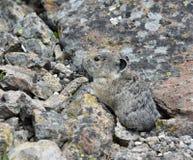Pika nas rochas Fotografia de Stock Royalty Free