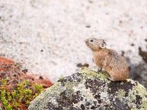 Pika (Ochotona Alpina). In Russian national park Ergaki Stock Image