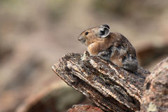 Pika Resting On Rock Stock Image