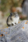 Pika on Rock. Pikas live in rocky hills and sit on rocks calling mates and family Royalty Free Stock Photos