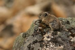 Pika on Rock ledge in Hatcher Pass, Alaska Royalty Free Stock Photos