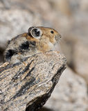 Pika on a Rock in Rocky Mountain National Park Royalty Free Stock Photography