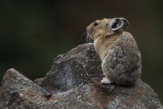 Pika on rock. This is a pika sitting on a rock posing for me stock photography