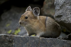 Pika in the rocks. This is a pika posing for me on the rocks up in the high country of wyoming royalty free stock images