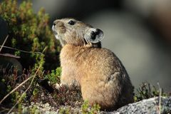 Pika in rocky habitat Stock Images