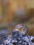 Pika: Rodent Royalty Free Stock Image