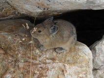 Pika se cachant dans les roches Photo stock