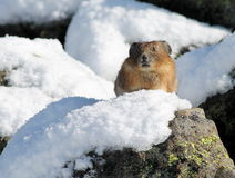 Pika on a Snowy Rock. An American Pika sitting on a snowy rock on Mount Rainier Stock Photo