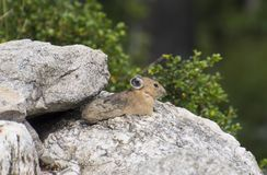 Pika soaking up some sun stock images